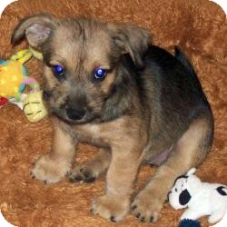 Yorkie, Yorkshire Terrier/Cairn Terrier Mix Puppy for adoption in Tallahassee, Florida - Trixie