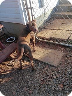 American Pit Bull Terrier Mix Dog for adoption in Killen, Alabama - Sully
