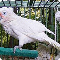 Adopt A Pet :: GILLIGAN - Mantua, OH