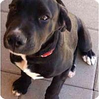 Adopt A Pet :: Berra - Gilbert, AZ