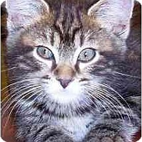 Adopt A Pet :: Cinco de Gato - Portland, OR
