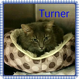 Domestic Longhair Cat for adoption in Newnan, Georgia - Turner