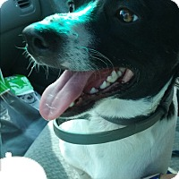 Border Collie/Jack Russell Terrier Mix Dog for adoption in Russellville, Kentucky - Max