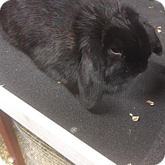 Lop, Holland Mix for adoption in Princeton, Minnesota - Licorice