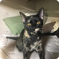 Domestic Shorthair Cat for adoption in Brookeville, Maryland - Tori (XPOST)
