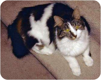 Devon Rex Cat for adoption in Battle Ground, Washington - Mini-Me