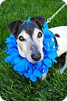 Jack Russell Terrier Dog for adoption in Columbia, Tennessee - Toby