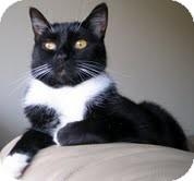 Domestic Mediumhair Cat for adoption in Alexandria, Virginia - Peeps
