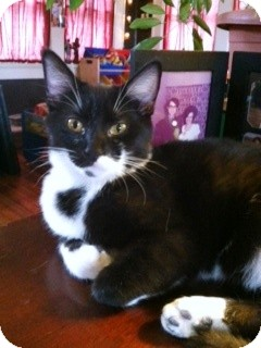 Domestic Shorthair Kitten for adoption in Fort Wayne, Indiana - Piper