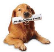 Golden Retriever Dog for adoption in Cleveland, Ohio - Tanner