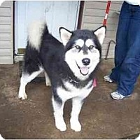 Adopt A Pet :: Misty - Belleville, MI