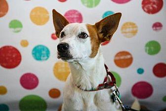Cattle Dog/Boxer Mix Dog for adoption in Elizabethtown, Pennsylvania - Millie
