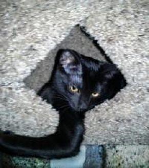 Bombay Cat for adoption in Mission Viejo, California - Velvet