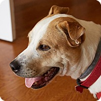 Pit Bull Terrier Mix Dog for adoption in Garland, Texas - Ralph
