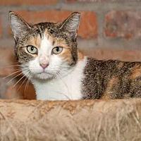 Calico Cat for adoption in Thibodaux, Louisiana - Callie FE2-9376