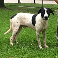 Collie Mix Dog for adoption in Slidell, Louisiana - Kipp