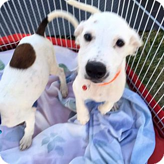 Labrador Retriever/Setter (Unknown Type) Mix Puppy for adoption in Lincoln, Nebraska - Sheba