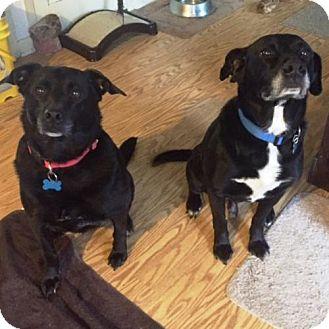 Labrador Retriever Mix Dog for adoption in Amherst, Ohio - PIXIE & SKITTLES (BONDED PAIR)