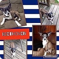 Adopt A Pet :: Beethoven - Wichita Falls, TX