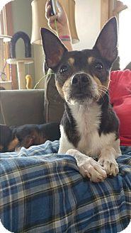 Rat Terrier/Feist Mix Dog for adoption in Glastonbury, Connecticut - Nico ~ meet me!
