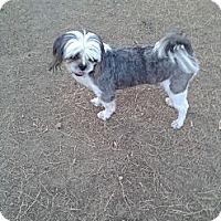 Adopt A Pet :: Papa - West Hartford, CT