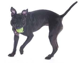 American Pit Bull Terrier Mix Dog for adoption in Chicago, Illinois - Squeak