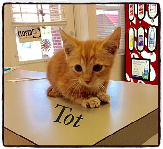Domestic Shorthair Kitten for adoption in Dillon, South Carolina - Tot