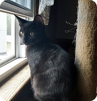 Domestic Shorthair Kitten for adoption in Little Falls, New Jersey - Luther (JT)