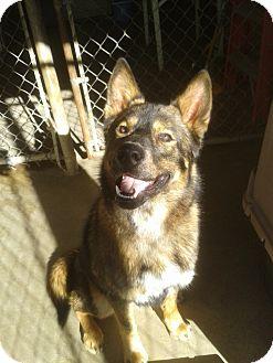 Alaskan Malamute/Shepherd (Unknown Type) Mix Dog for adoption in Divide, Colorado - Hunter