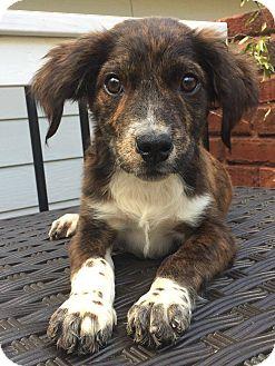 Spaniel (Unknown Type) Mix Puppy for adoption in CUMMING, Georgia - Lady