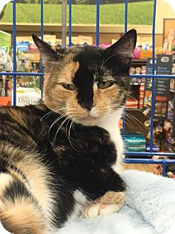 Calico Cat for adoption in Richmond, Virginia - Bella