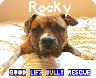 Pit Bull Terrier/Boxer Mix Dog for adoption in Tomball, Texas - Rocky