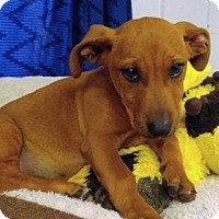 Adopt A Pet :: Aubie - Brattleboro, VT