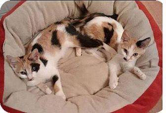 Calico Kitten for adoption in Staunton, Virginia - Ying and Yang