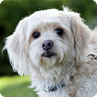 Adopt A Pet :: Harvey - Yorba Linda, CA