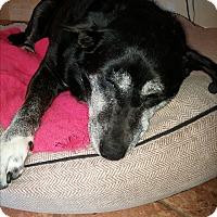 Adopt A Pet :: Lauren - Sandy Hook, CT