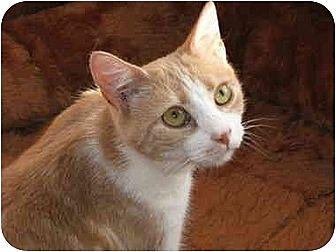 Domestic Shorthair Cat for adoption in Bloomsburg, Pennsylvania - Cream
