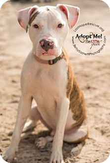 American Staffordshire Terrier/American Bulldog Mix Puppy for adoption in Tallahassee, Florida - Duncan
