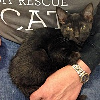 Adopt A Pet :: Black Cats - Greenback, TN