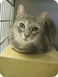 Domestic Shorthair Cat for adoption in Houston, Texas - Chrissy