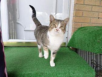 Domestic Shorthair Cat for adoption in Cincinnati, Ohio - zz 'Lucky Luigi' courtesy listing