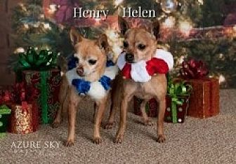 Chihuahua Mix Dog for adoption in Mesa, Arizona - Helen & Henry