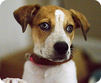 Labrador Retriever/Catahoula Leopard Dog Mix Puppy for adoption in Memphis, Tennessee - Tomato