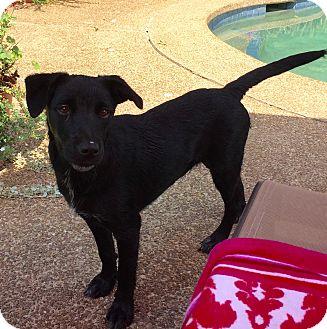 Labrador Retriever/Golden Retriever Mix Puppy for adoption in Fishkill, New York - OCTAVIA