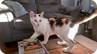 Calico Kitten for adoption in Columbus, Ohio - Wheels