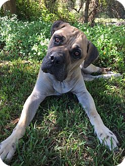 Bullmastiff Mix Dog for adoption in North Port, Florida - Foster