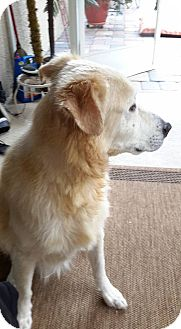 Golden Retriever Mix Dog for adoption in Cape Coral, Florida - Nicky