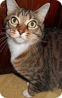 Domestic Shorthair Cat for adoption in Chattanooga, Tennessee - Blaire