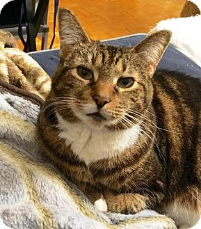 Domestic Shorthair Cat for adoption in Vancouver, British Columbia - Tig
