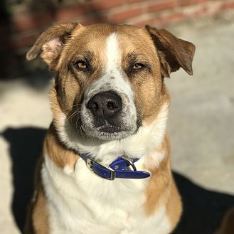 Australian Shepherd/Boxer Mix Dog for adoption in Santa Clarita, California - BLUE